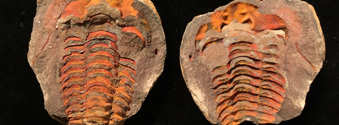 Flexicalymene part and counterpart, from Morocco. Photo by Nick Longrich