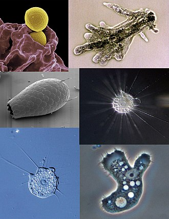 330px-Amoeba_collage.jpg