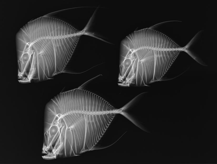 x-ray-vision-selene-vome-fish.jpg